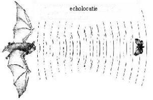 De_echolocatie_van_een_vleermuis